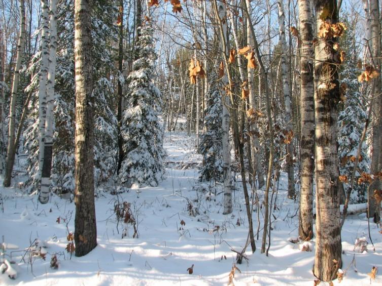 Birch Forest In Early Winter