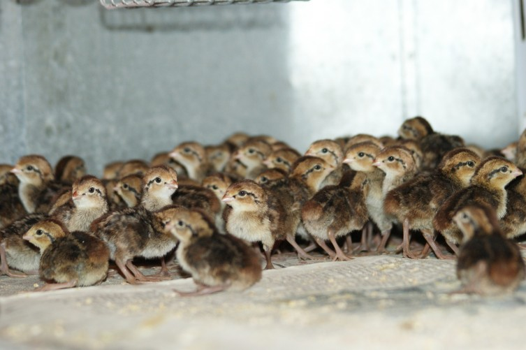 Bunch of little baby quails.. also taken through the warmer... hard to get a picture .. they move so fast!