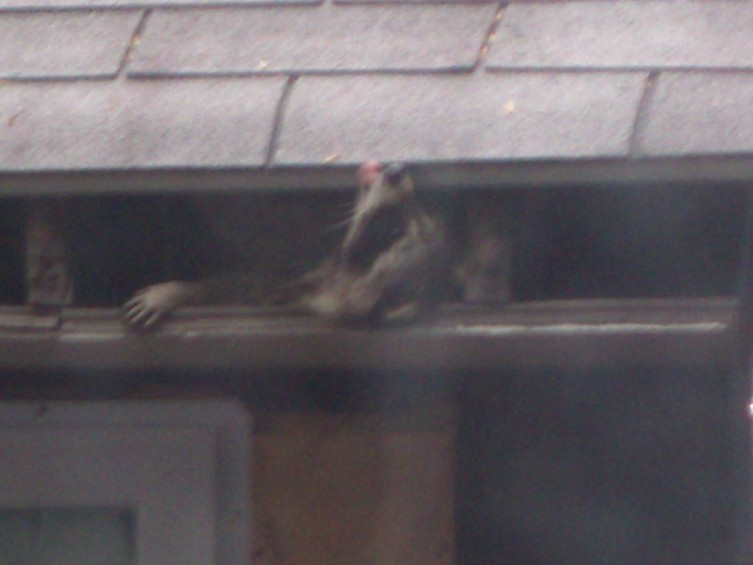 Racoon licking rain from the roof.