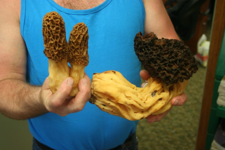 "STANDISH—Andrea and Mike Porter of Sterling found this large morel mushroom while mushroom hunting in Malt Bys Hills outside of Rose City on Thursday afternoon. The couple claims that it was 19 inches long, and weighed 17 onces. The mushroom sits right next to two other more ""normal"" sized morels."