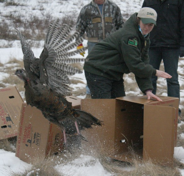 Katie Keen, a wildlife outreach technician with the Michigan DNR, looks on as a turkey takes flight.