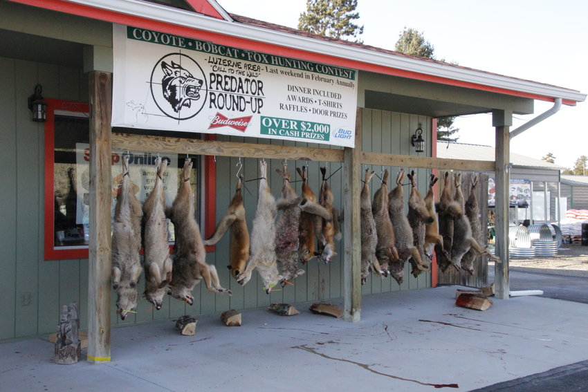 Coyotes, bobcats and foxes are hung on a pole outside of Luzerne Hardware following last year's tournament.