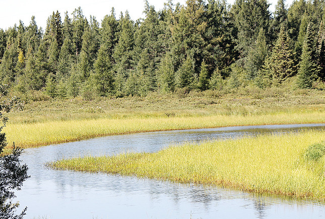 Wild rice grows in the Sandy River. Sulfate standards designed to protect wild rice remain a source of controversy.