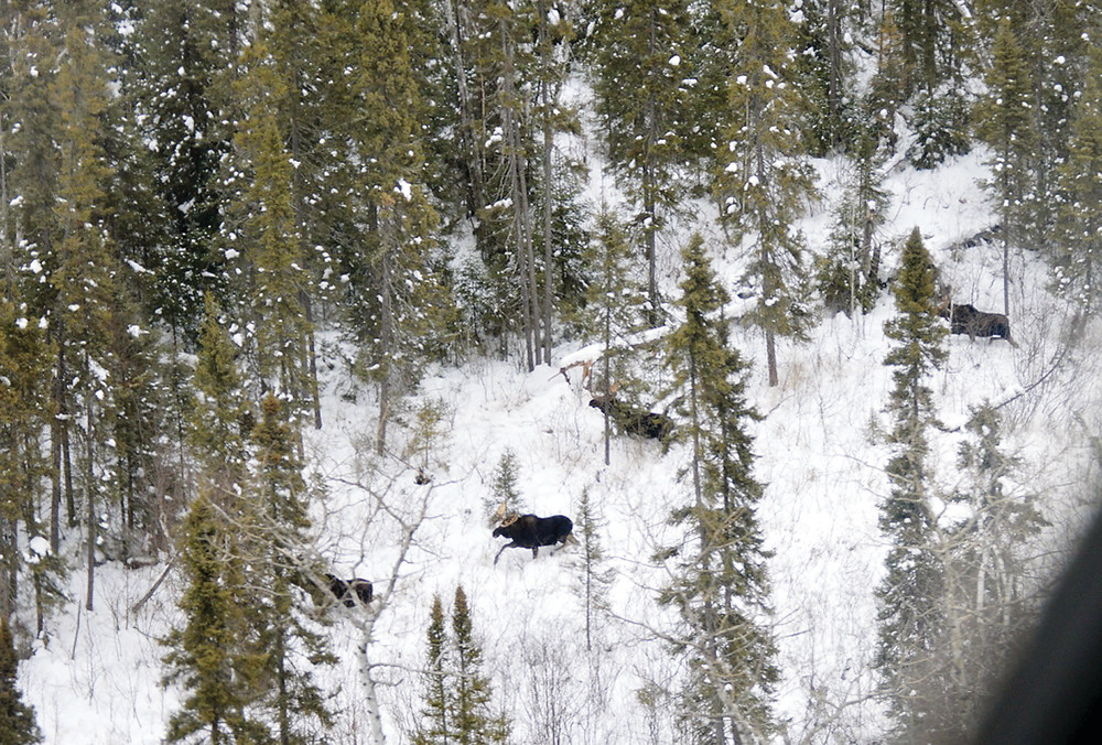 Four moose make their way through the northeastern Minnesota forest, as seen during this year's aerial survey.