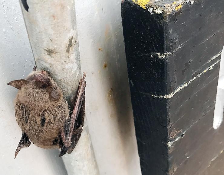 A dead, frozen bat still clings to a pipe near the Soudan Mine's main shaft.