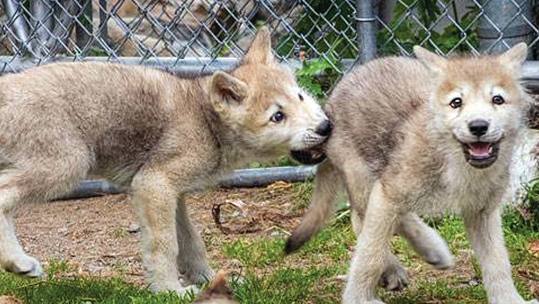 The newest residents of the International Wolf Center helped boost visitation at the center last year.
