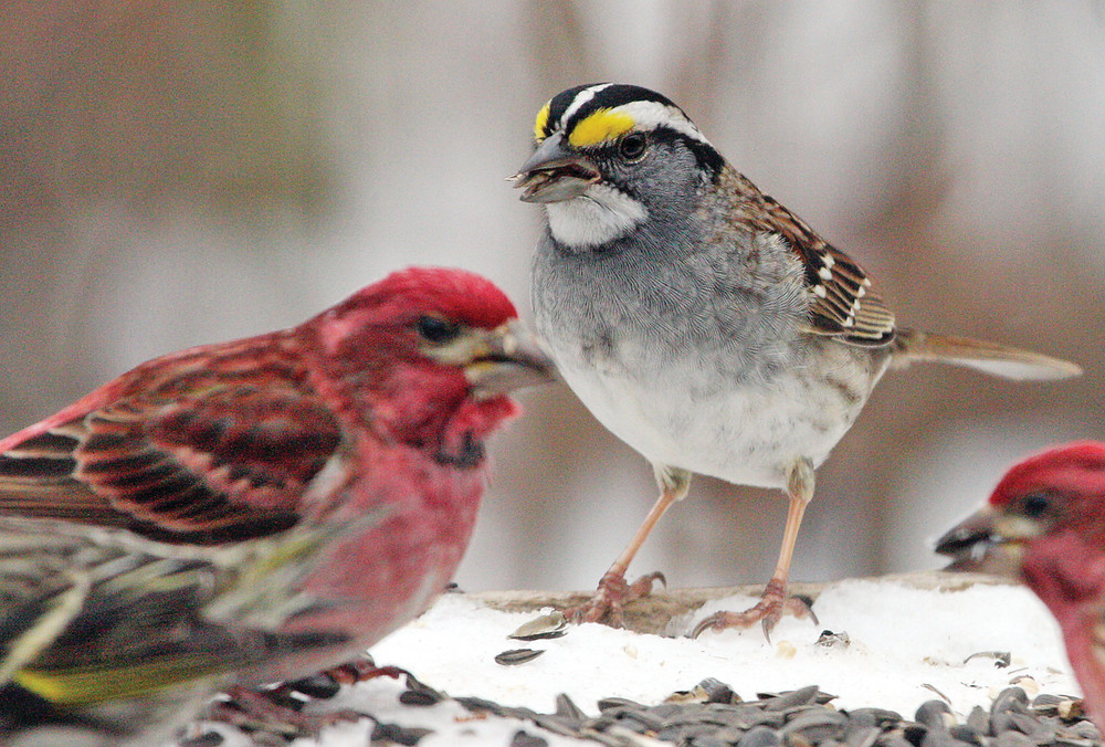 A white-throated sparrow joins a flock of   purple finches and pine siskins at a feeder.