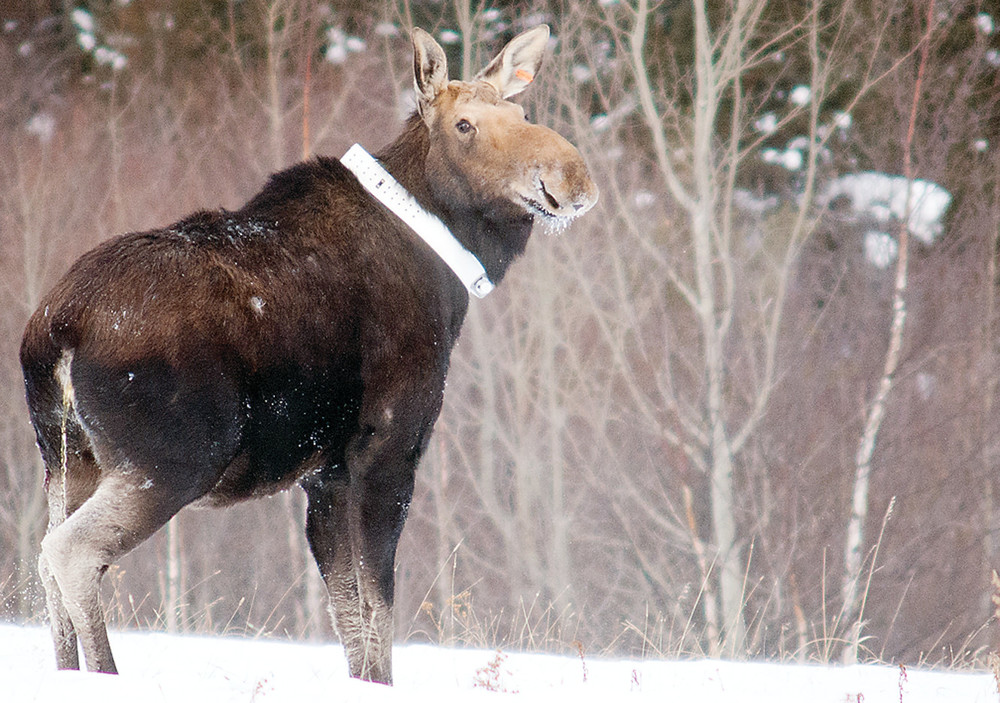 The DNR's study of adult moose is nearing completion after five years.