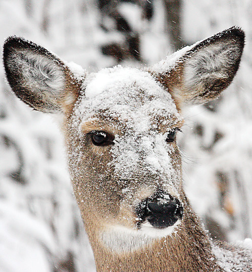 A deer is covered with snow during last month's only significant snowfall. Overall, the limited snowfall this winter is adding up to another mild winter for deer.