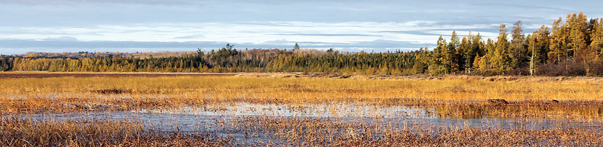 Late season wild rice on Big Rice Lake, located southwest of Tower.