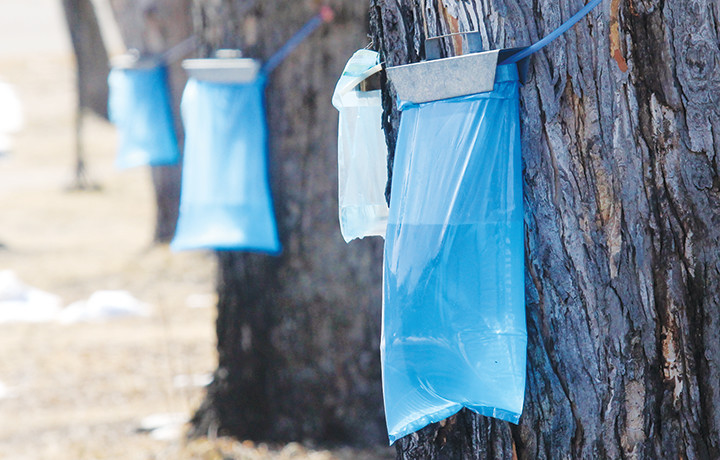 After an extended winter, sap is finally flowing this week out of silver maple trees in the city of Ely.