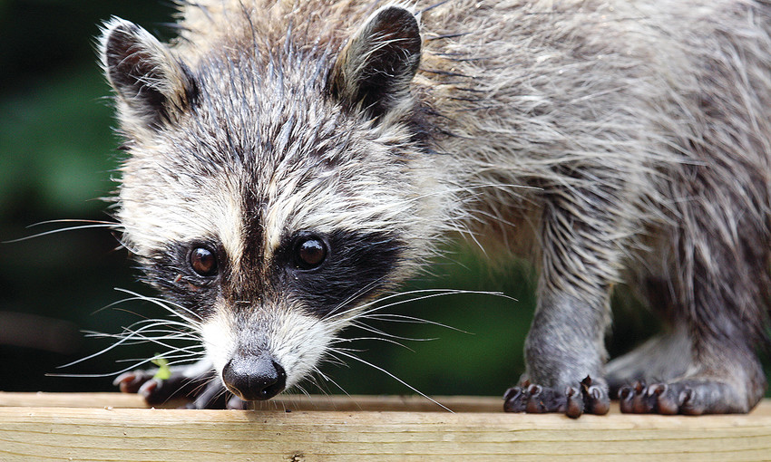 A raccoon warily eyes a photographer sitting inside the house, not more than 15 feet away.