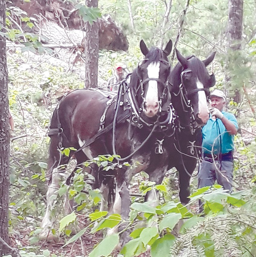 Mike Berthiaume tends his steeds during a horse logging venture.