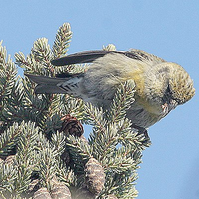 Crossbills aren't the only ones on the hunt for black spruce cones, as seen here. The DNR is also seeking cones to provide seed for the state nursery.