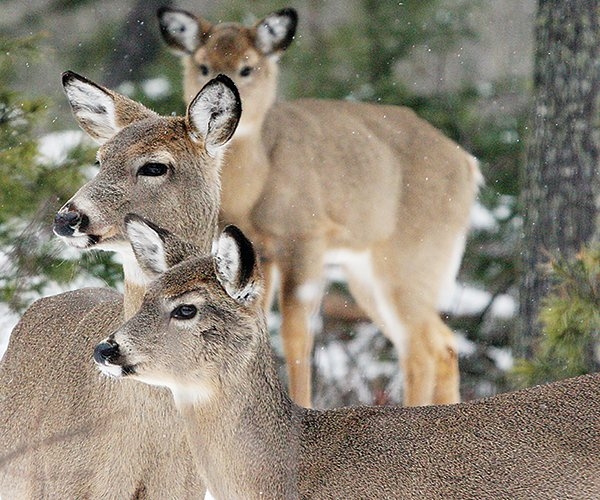 Despite the cancellation of deer management open houses, you can still weigh in with your comments by contacting your local wildlife manager.