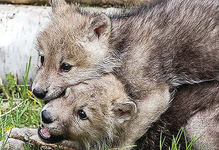 Pups at the Wolf Center have always been a draw for visitors, for obvious reasons.