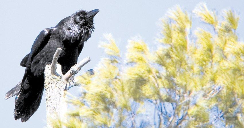 A raven sits on a white pine snag.