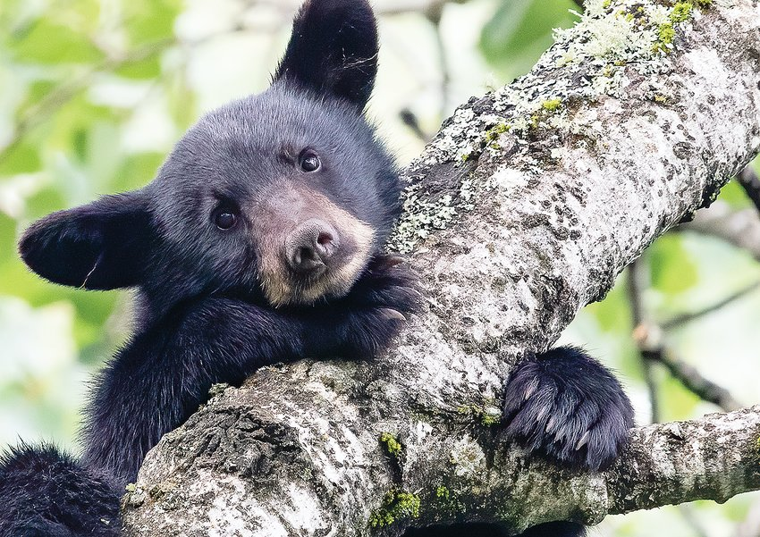 Simply put, do bear cubs come any cuter than this sleepy one resting in a balsam poplar?