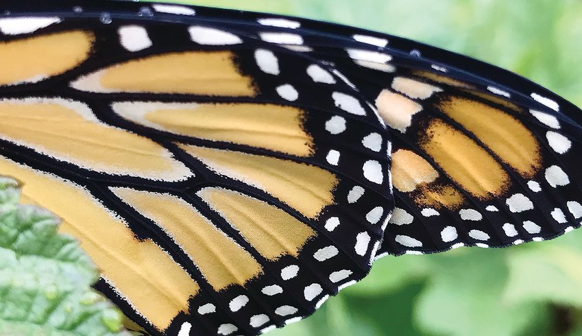 The distinctive pattern of the Monarch butterfly wing.