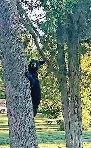 A young bear climbed a tree at Whiteside Park last Wednesday evening as onlookers gathered.