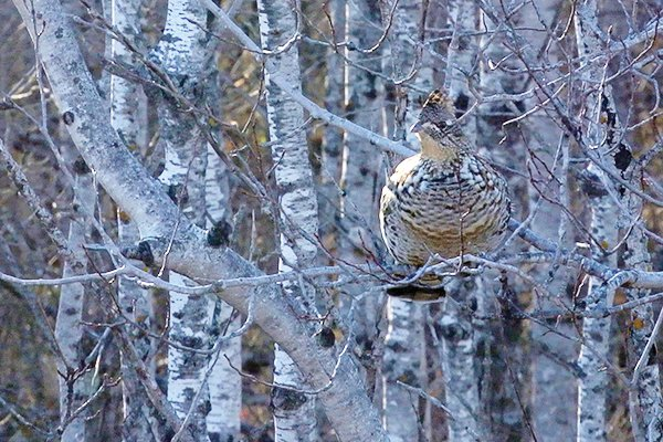Ruffed Grouse in Aspen