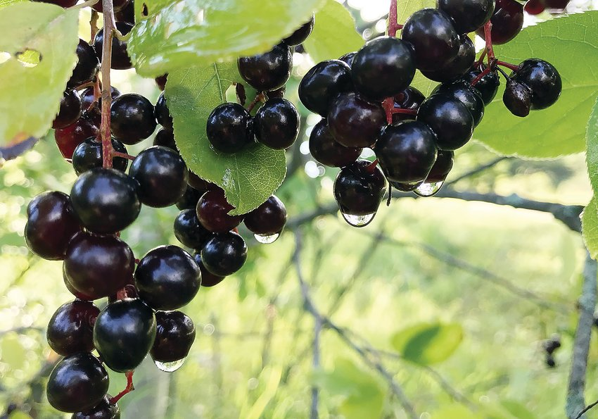 Ripe chokecherries after a recent rain.  These common   berries make an excellent red wine.