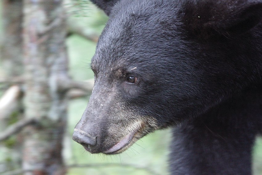 Bear hunters will be in the field starting   Tuesday.
