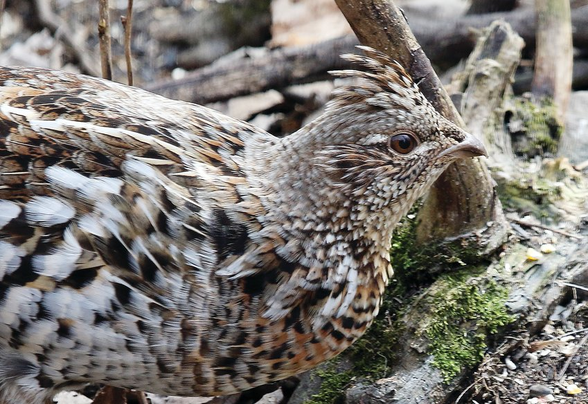 Hunters will be on the lookout for ruffed grouse   beginning this weekend.