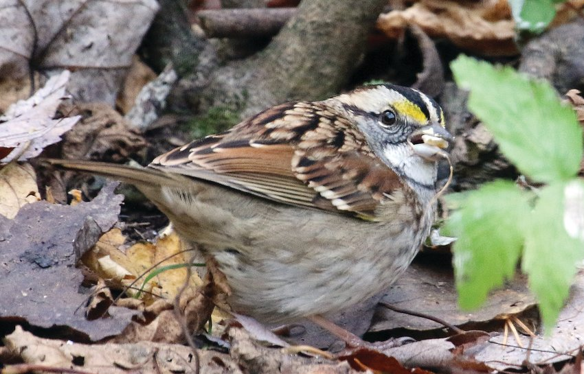 A male white-throated sparrow sports its distinctive yellow spot between the eye and the bill.