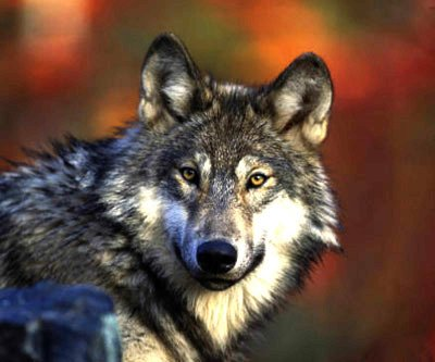 The gray wolf is now off the federal threatened species list once again, handing management of the species back to the state of Minnesota.