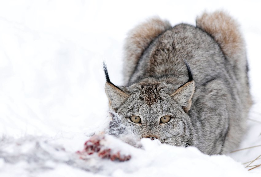 A lynx eyes   photographer Becky Smith, who says she was scared as she maneuvered around the lynx to capture images from different angles.