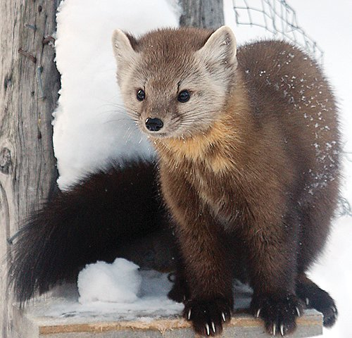 Pine marten   numbers appear to have stabilized, but there's   little sign of recovery   for fisher, a larger   member of the Mustelid family.