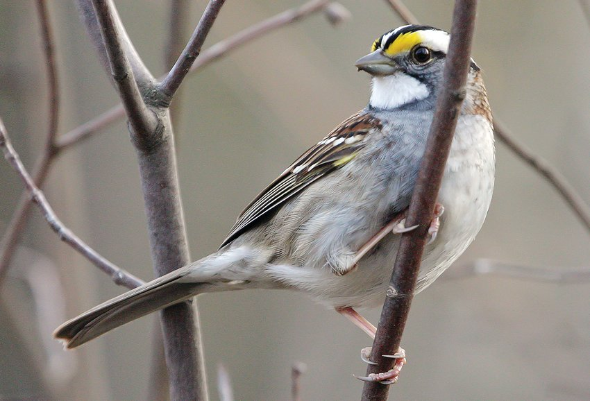 A brightly colored adult white-throated sparrow, a member of one of two primary   variants of this species, both of which are found here in the North   Country during the warmer months.   Other adult white-throated sparrows lack the bright yellow eyebrows, white throat and black and white head stripes. The two variants also have distinctive behavioral differences.