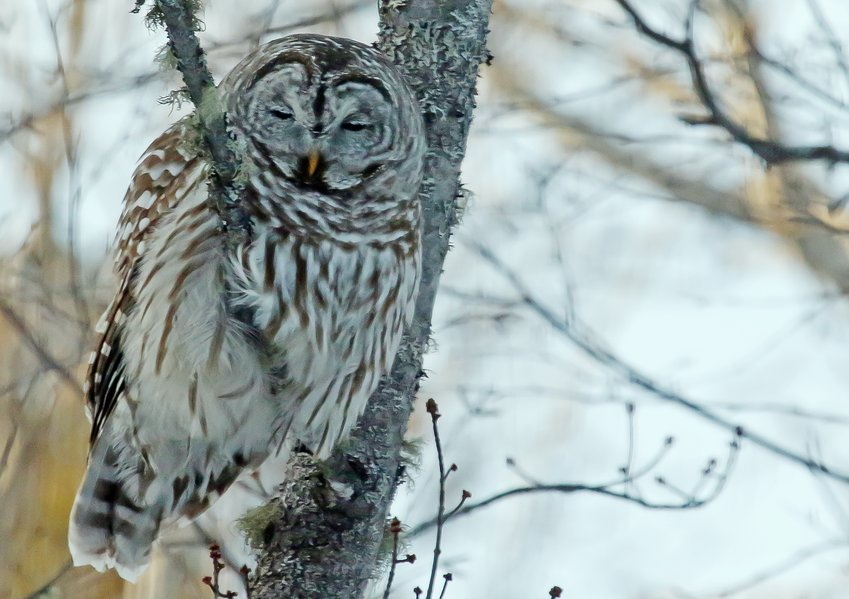 A sleepy barred owl rests during the day near the Lost Lake Swamp.