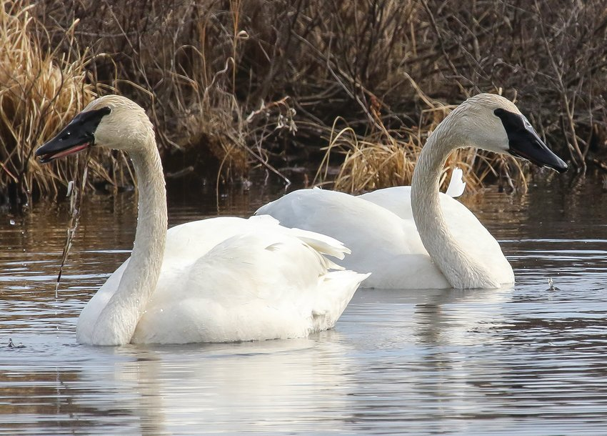 A pair of trumpeter swans fed along the West Two River, just west of Tower, last week.  The river had opened up the day before, attracting significant numbers of waterfowl.
