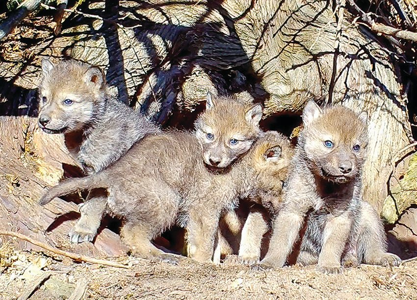 Determining wolf pup survival rates is just one of the goals of the Voyageurs Wolf Project.