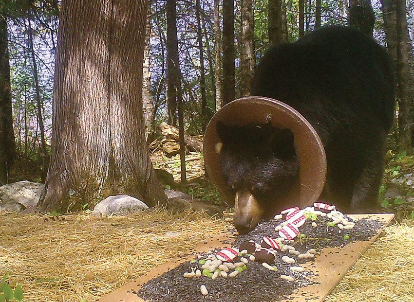 Ringo stops for a meal at the Mair residence. The Mairs fed Ringo for a time to build enough trust to enable them to remove the ring from the bear's neck.