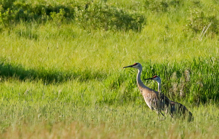 A pair of sandhill cranes were busy feeding in a hayfield just west of  Tower this past week. Sandhill cranes have become increasingly common in the North   Country as they've recovered from the effects of overhunting and other factors.