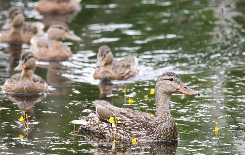 A mother mallard   leads her large brood through yellow blossoms   of bladderwort, a carnivorous plant that is common in northern Minnesota bog edges.