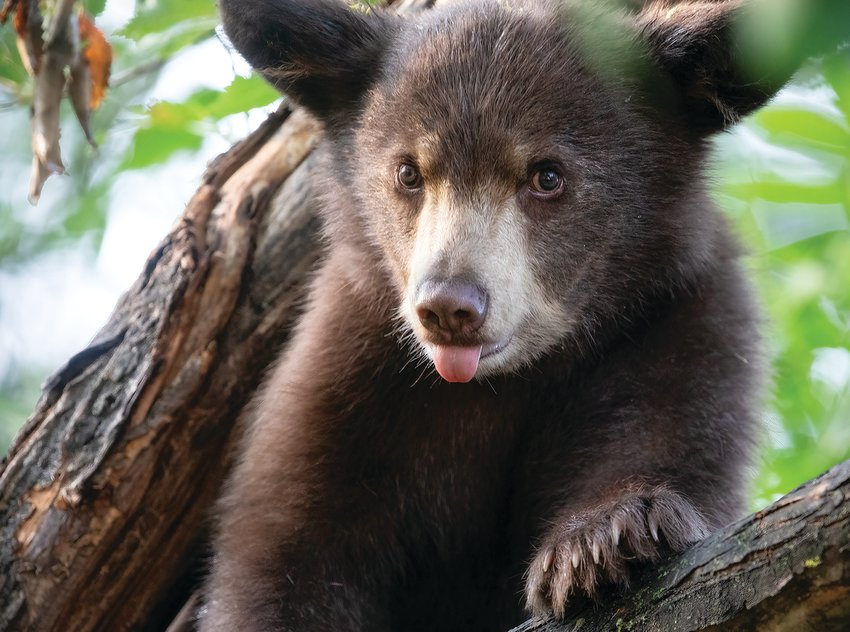 An incredibly cute bear cub people watches at the Vince Shute Sanctuary during a recent Breakfast with the Bears event.