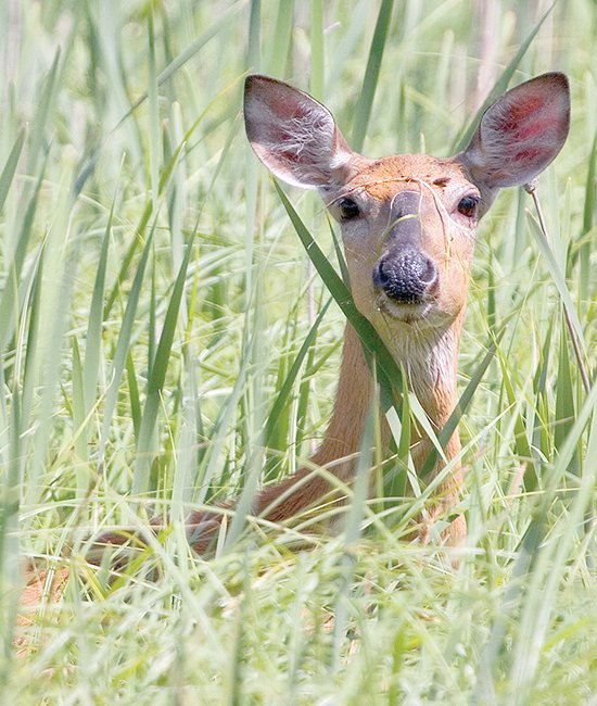 A doe won't be a legal target for most deer hunters in northeastern Minnesota this fall.