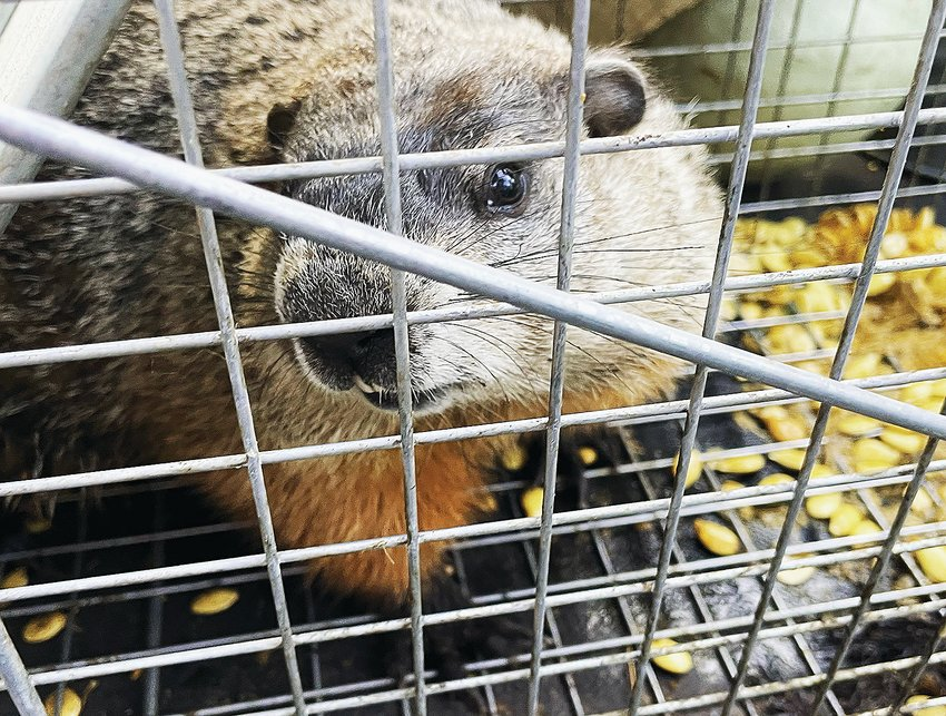 A trapped woodchuck looks into the camera of the trapper before being relocated to a distant gravel pit.