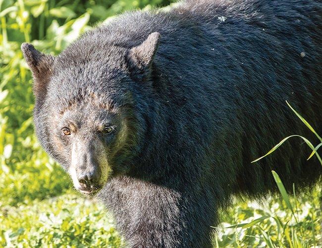 Black bears will be at a disadvantage this hunting season.