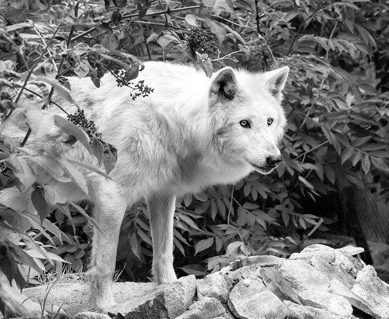 Denali, a 13-year-old ambassador wolf at the International Wolf Center.