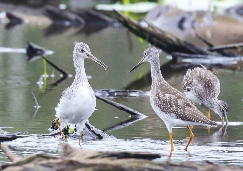 Greater yellowlegs actively feed in the shallow water and mud flats left behind on a large   former bay in the Pike River Flowage.