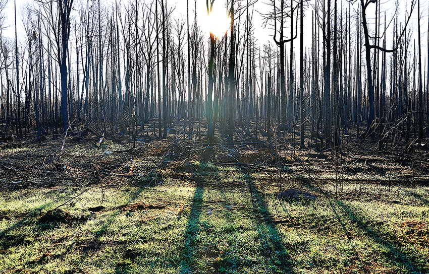 Burned and charred remains of a stand of trees along Highway 2 cast long shadows just after sunrise last week.