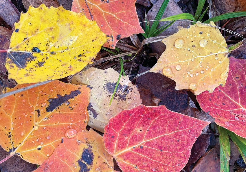 Big-toothed aspen often show more reds and peaches than the quaking aspen.