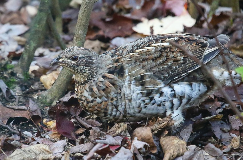 A ruffed grouse blends in nearly perfectly with freshly fallen leaves.