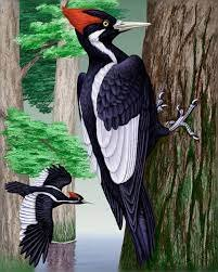 """Nicknamed the """"Lord God Bill,"""" this woodpecker is now extinct."""